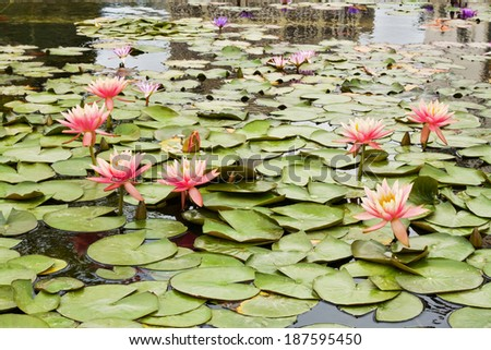 Beautiful photo of pink lotus live in a city fountain. - stock photo