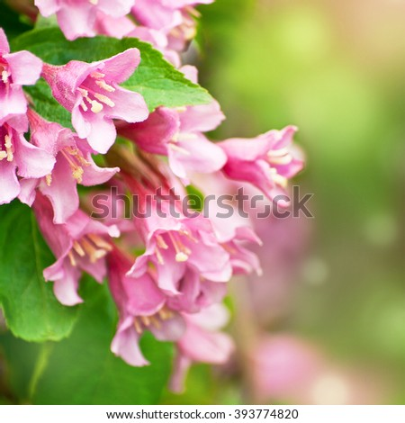 Beautiful photo of pink Weigela flowers. Weigela praecox