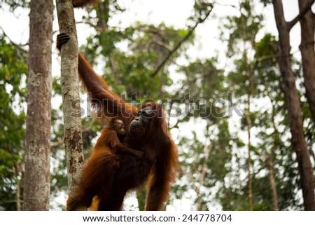Beautiful photo of wild orangutan in Borneo forest Indonesia. - stock photo