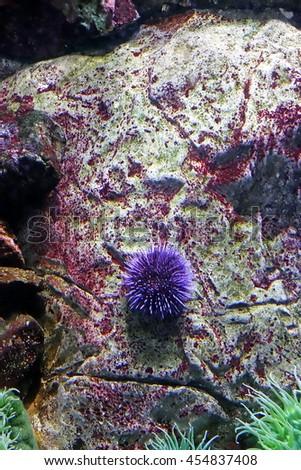 Beautiful photograph of one purple sea urchin on coral reef in the Lisbon Oceanarium, Portugal. Wild nature background. The underwater world. Echinius. Sea hedgehog. Actinia equina. Sea anemone. - stock photo