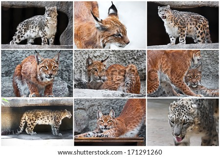 Beautiful photos of  big wild cats -  Lynx and Snow Leopard