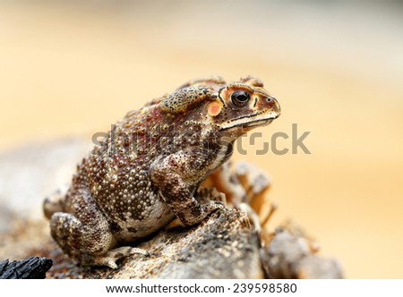 beautiful photos of exotic toad in the tropics  - stock photo