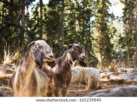 Beautiful photos of goats grazing in the forest. Israel.
