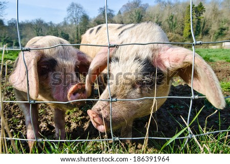 beautiful piglets at a farm - stock photo