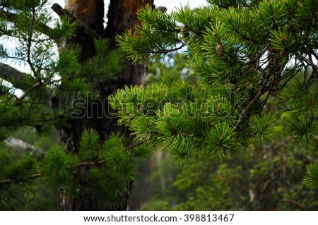 Beautiful pine branches. Russian forest. Background of christmas tree branches
