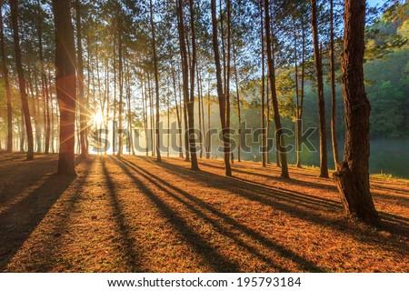 Beautiful pine forest - stock photo
