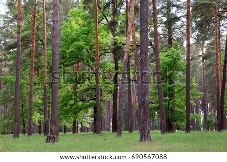 Beautiful pine forest, in the summer afternoon, Ukraine, Sumy region