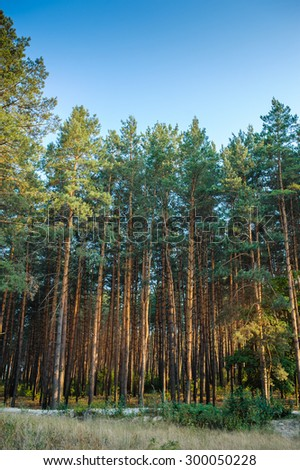 beautiful pine forest on the sky background. - stock photo
