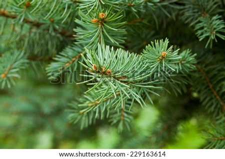 beautiful pine tree closeup in summer - stock photo