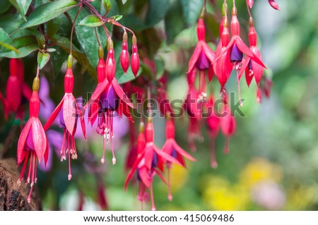 Beautiful pink and purple fuchsia flowers