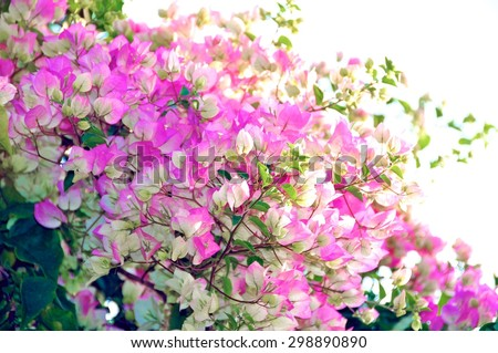 Beautiful pink and white Bougainvillea blossoms on the tree - stock photo