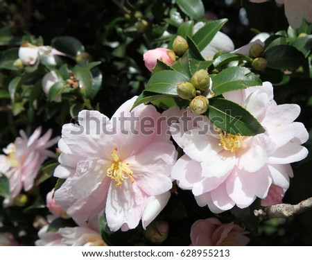 Beautiful pink white camellia flowers surrounded stock photo beautiful pink and white camellia flowers surrounded by green leaves mightylinksfo