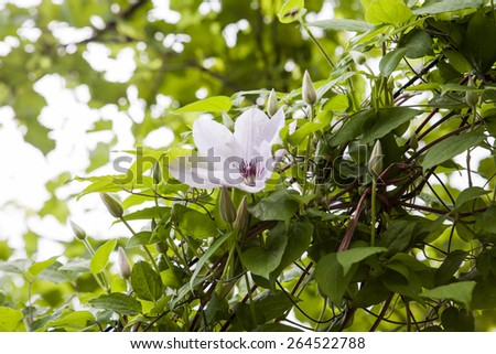Beautiful, pink and white clematis flowers with vegetation - stock photo