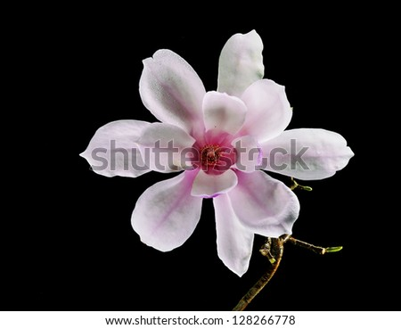 Beautiful Pink and White Magnolia Flower isolated on black - stock photo