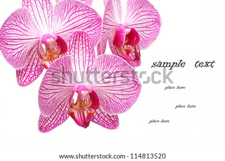 beautiful pink and white orchid  isolated on white - stock photo
