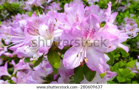 Beautiful pink and white rhododendrons