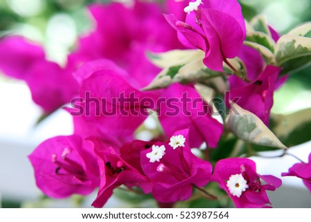 Beautiful pink Bougainvillea flowers with green leaves in background