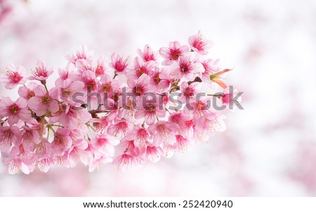 Beautiful   Pink  Bouquet  of  Cherry  Blossom  with  freshness  blooming. - stock photo