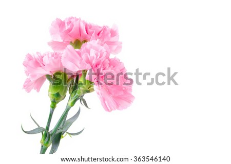 Beautiful pink Carnation flowers on white background with copy space
