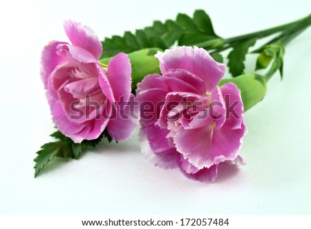 Beautiful Pink Carnation Flowers on white floor in sweet valentines - stock photo