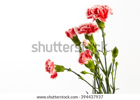 Beautiful pink carnations flower isolated on the white background.