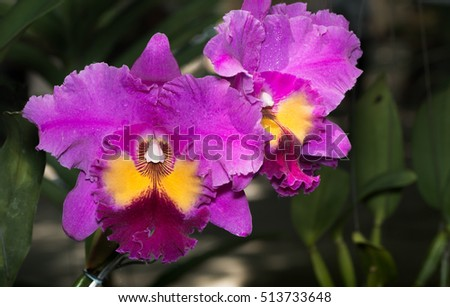 beautiful pink cattleya orchid flower on nature background