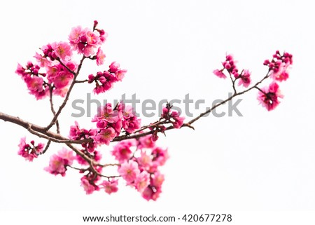 Beautiful pink cherry blossom isolated on white background - stock photo
