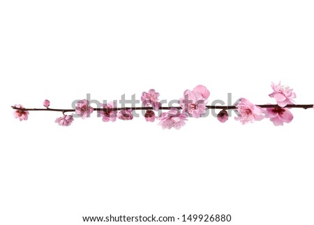 Beautiful pink cherry blossom on a white background.