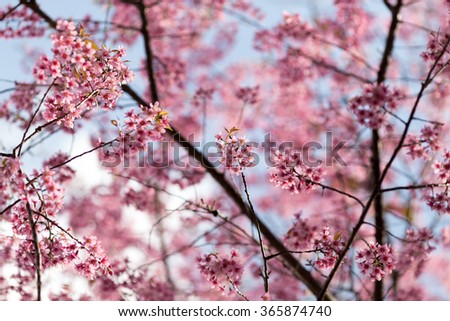 Beautiful pink cherry blossom (Sakura) flower