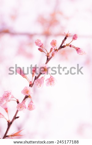 Beautiful pink cherry blossom (Sakura) flower at full bloom.
