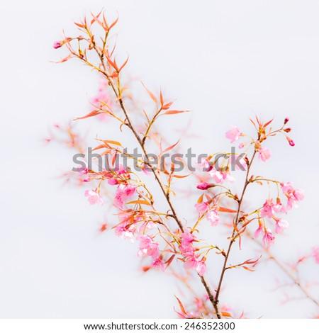 Beautiful pink cherry blossom (Sakura) flower at full bloom. - stock photo