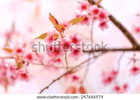 Beautiful pink cherry blossom (Sakura) flower at full bloom - stock photo