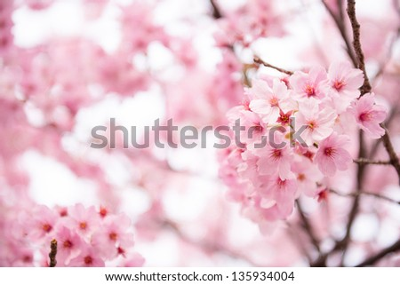 Beautiful pink cherry blossom (Sakura) flower at full bloom in Japan - stock photo
