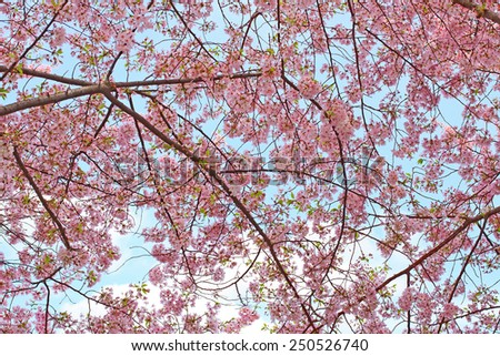 Beautiful pink cherry blossoms reach toward a warm spring sky. - stock photo