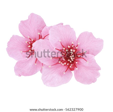 Beautiful pink cherry cherry blossom isolated stok fotoraf beautiful pink cherry or cherry blossom isolated on white background mightylinksfo