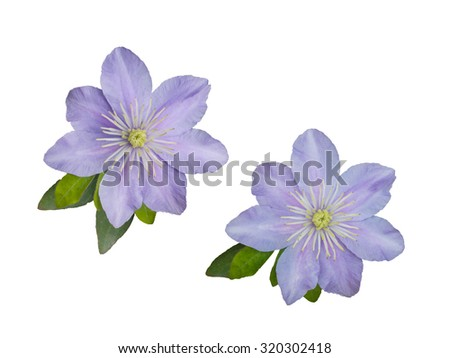Beautiful pink clematis close-up isolated on white background. Clematis cultivar 'Justa'