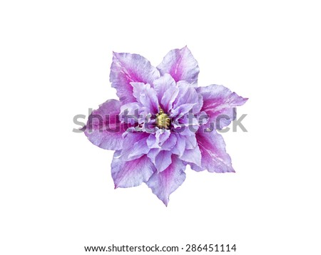 Beautiful pink clematis close-up isolated on white background. Clematis cultivar 'Piilu' - stock photo