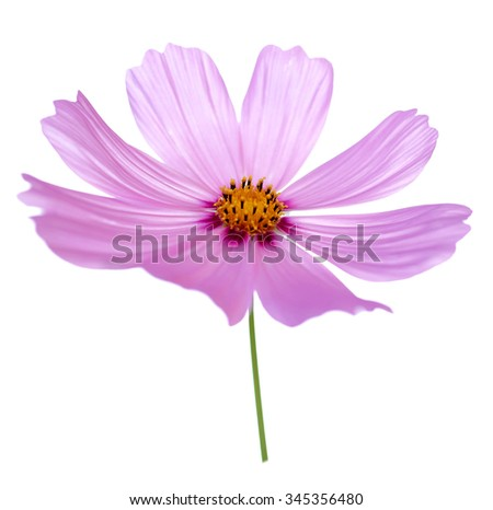 Beautiful pink Cosmos Flower isolated on white