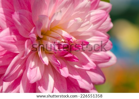 Beautiful pink dahlia flower with colorful background, close up. - stock photo