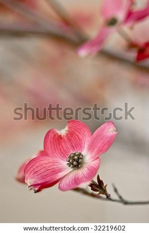 Beautiful pink dogwood blossom - stock photo