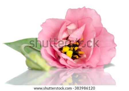 Beautiful pink eustoma flower and bud  isolated on white background - stock photo