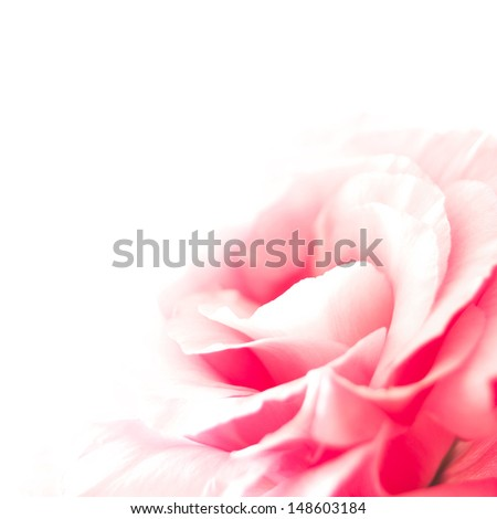 Beautiful Pink Eustoma Flower on the White Background - stock photo