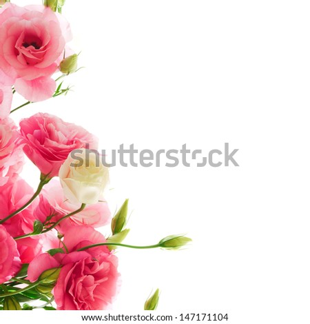 Beautiful Pink Eustoma Flower on the White Background. Natural Floral Border - stock photo