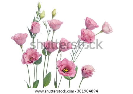 Beautiful pink eustoma flowers isolated on white background  - stock photo