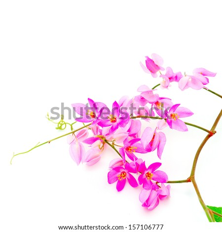 Beautiful pink flower, Coral Vine or Mexican Creeper (Antigonon leptopus), isolated on a white background