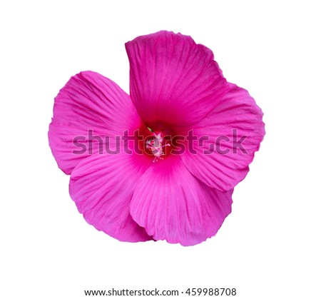 beautiful pink flower - isolated on white close up