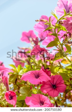 beautiful pink flowers in the garden ,blue sky background flower bloom and wither lively vintage soft light with green leaves - stock photo