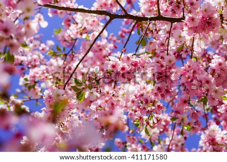 Beautiful pink flowers of cherry on blue sky background, april in France