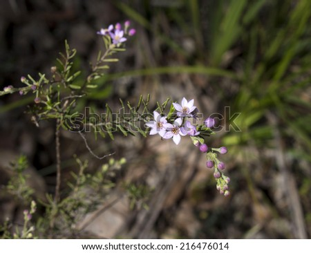 Beautiful  pink flowers of  rare west Australian  wildflower Boronia ovata species blooming in early spring  in Crooked Brook  national park Western Australia where is is a protected species. - stock photo