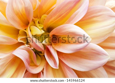 Beautiful pink Garden Dahlia flower macro as texture and  background (Dahlia hybrid, Compositae)